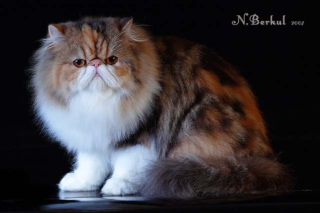 VITAS LITTLE - питомник персидских и экзотических кошек 58dfdea5e20a