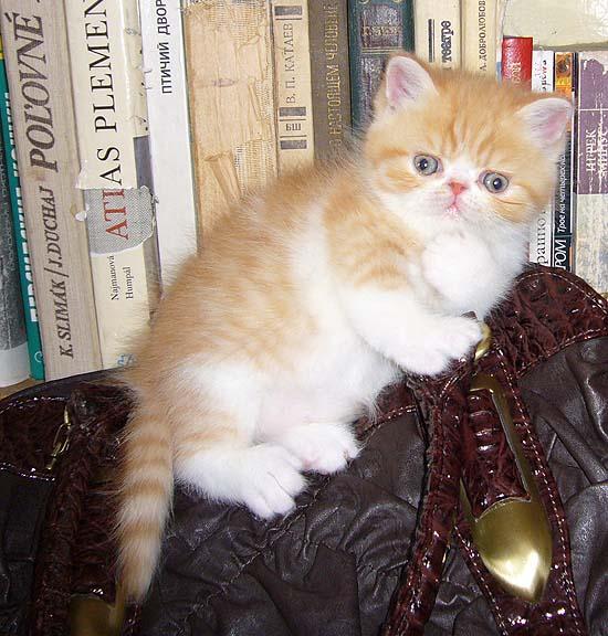 VITAS LITTLE - питомник персидских и экзотических кошек C52253ead0a8