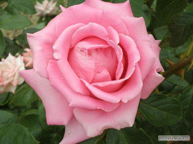 Крым. Никитский ботанический сад. - Страница 2 E6c80f019ae3