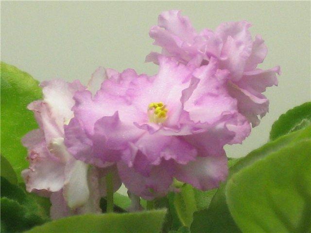 Мои цветики-семицветики 2076e90db7c5