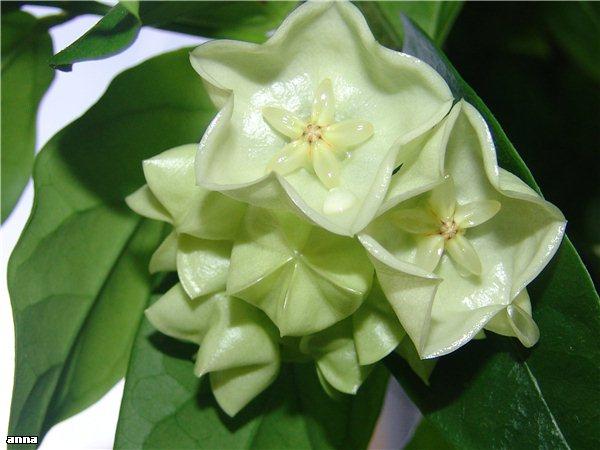 Hoyablüten 2011 - Seite 2 A02ef12665a0