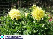 Георгины в цвету 9132d31f414bt