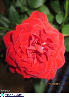 Розы в комнатной культуре - Страница 8 3c5ce3b57b7ct