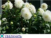 Георгины в цвету B141fa856227t