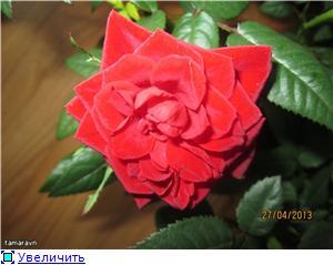 Розы в комнатной культуре - Страница 8 2e6860338920t