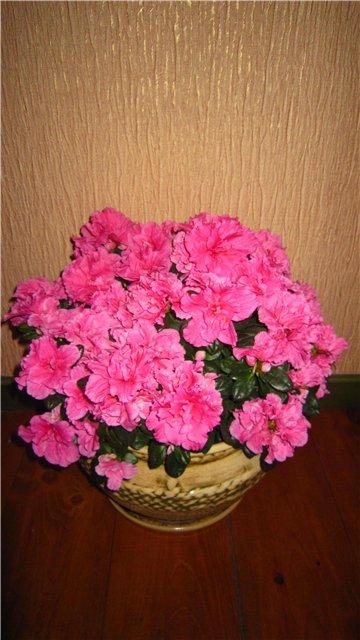 Мои цветулечки - Страница 20 354e1eff79c2