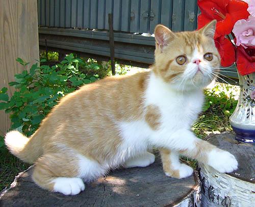 VITAS LITTLE - питомник персидских и экзотических кошек B5b328cc53c0