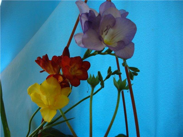 Луковичный цветок фрезия - Страница 2 Ec6efa4f0ed0