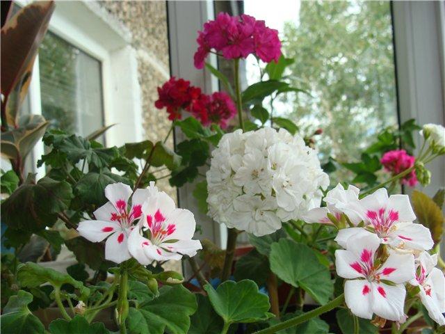 Весеннее  цветение (Хваст от Веры) - Страница 2 78233b6ad023