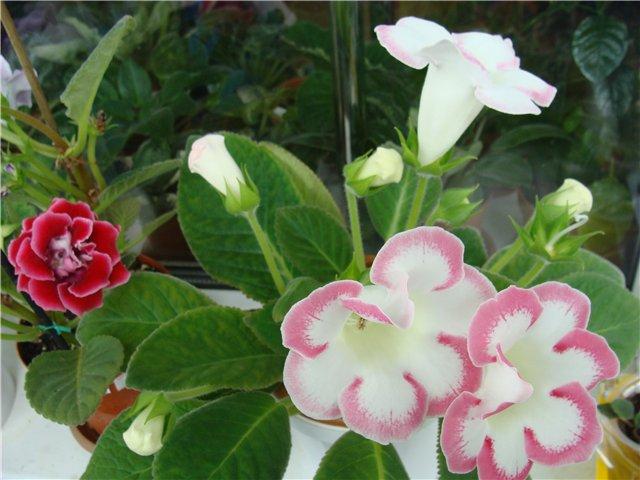 Весеннее  цветение (Хваст от Веры) - Страница 5 804bbc81e3e7