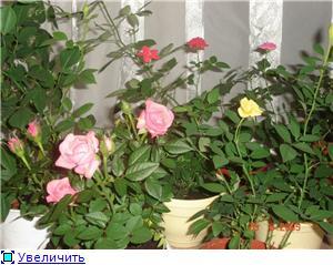 Розы в комнатной культуре 068119bd2f28t