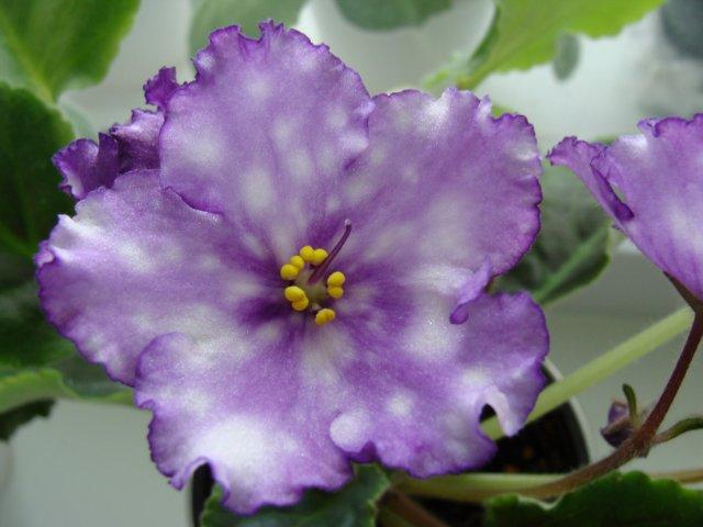 Мои цветочки - Страница 13 87d7c595e9b8