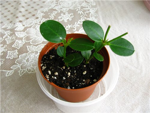 Карисса грандифлора(Carissa grandiflora) Eef9f90159da