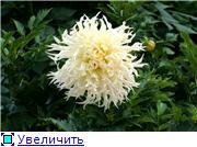Георгины в цвету 0425b879851dt