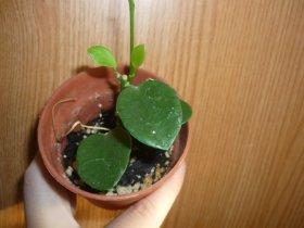 декоротивно-лиственные и красивоцветущие растения - Страница 3 D8455f023574