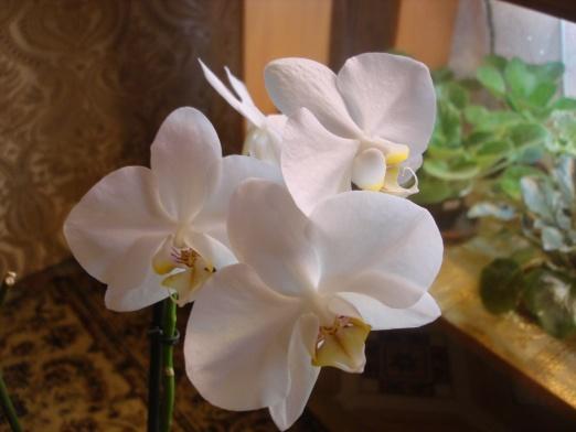 Разведение орхидей. - Страница 11 787e7d67ea64