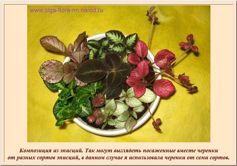 Краткие рекомендации по выращиванию и уходу за эписциями B98468bab68a