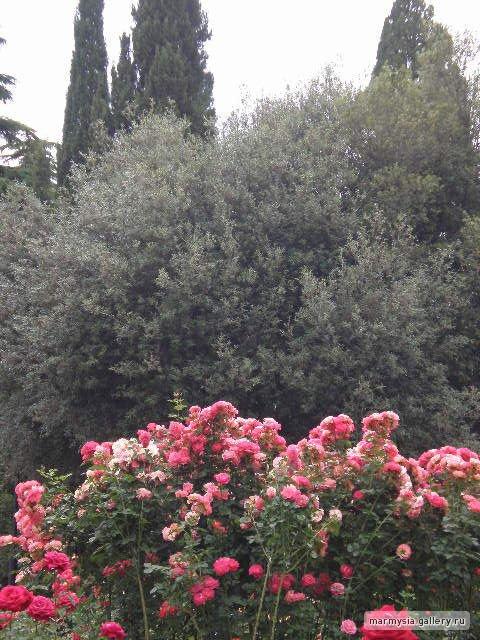Крым. Никитский ботанический сад. - Страница 2 Fff8777e7a45