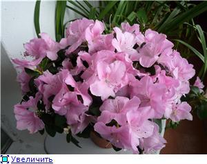 Азалия - капризная красотка 6bbb5b1d6f00t
