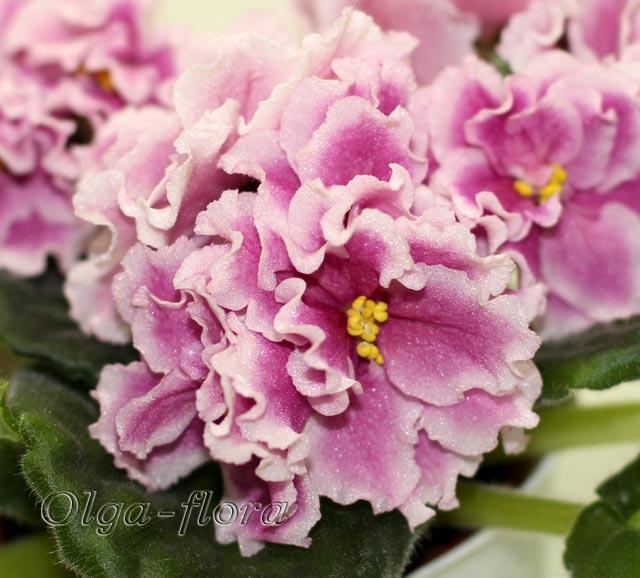 Pink Duchess (S.Sorano)  3872631b67c5