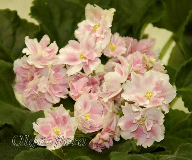 Розовый Жемчуг   (К. Л. Морев) Fdf792b741e6