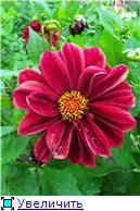 Георгины в цвету - Страница 2 041ddd094f3bt