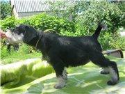 Цвергшнауцера щенки, окрас черный с серебром 8f160d192191t