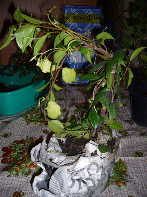 Растения из Сочинского питомника 42a8c3c79c17