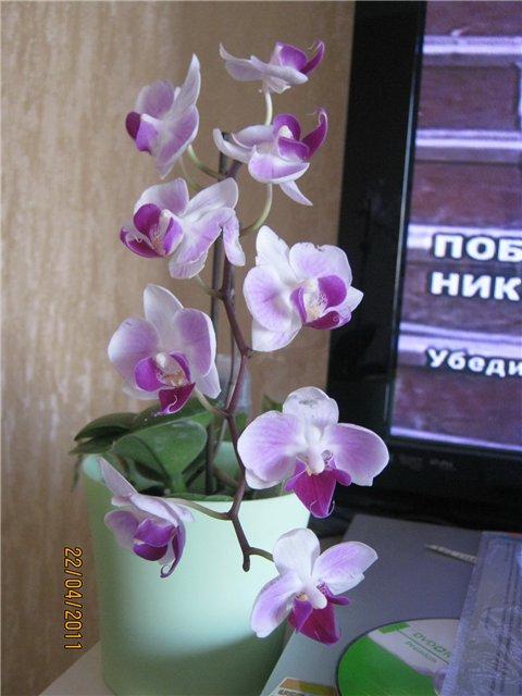 Разведение орхидей. - Страница 13 Ca8813496b54
