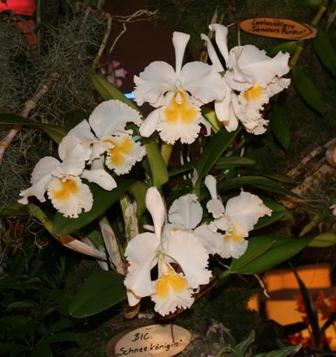 Выставка орхидей в Дрездене (март 2012г.) - Страница 2 8510360d61dc