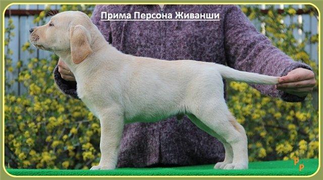 """Питомник """"Прима Персона"""". Мои собаки-моя жизнь! - Страница 2 A3bab681225f"""