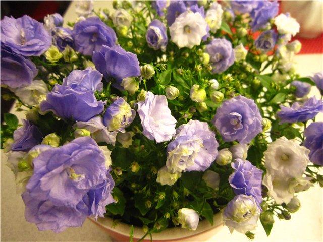Мои цветулечки - Страница 20 4912dec9b988