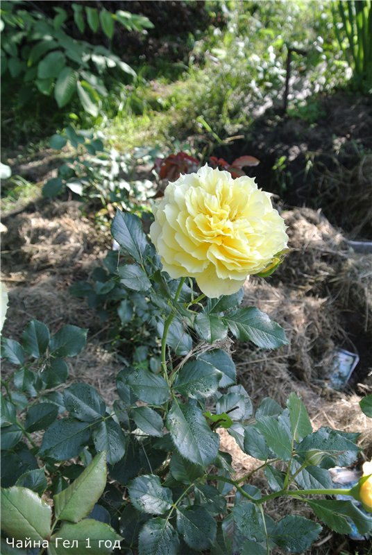 Розы-2013 540eedef5d8e