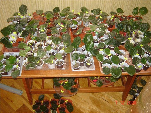Урок 1. Вегетативное размножение сенполии, листовым черенком. - Страница 2 2871d611bf2f