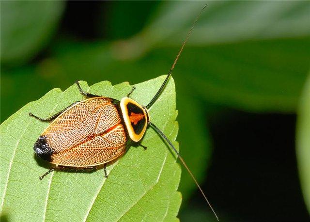 Малоизвестные виды тараканов 44b84720dda8