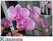 Фаленопсисы гибридные Bec716272ef2t