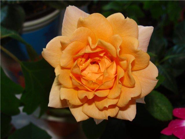 Комнатная роза 87bce7379709