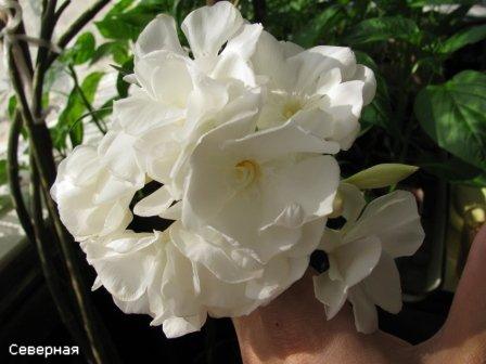 Цветочки Северной 18736918b01b