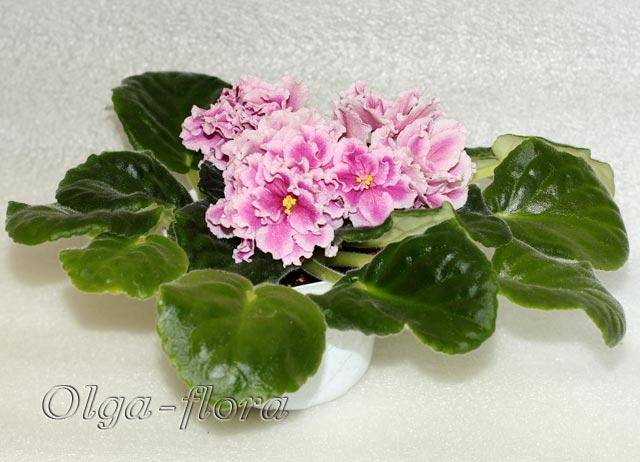 Pink Duchess (S.Sorano)  Dc8da9952e81