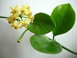 декоротивно-лиственные и красивоцветущие растения - Страница 3 127d7faa6abf