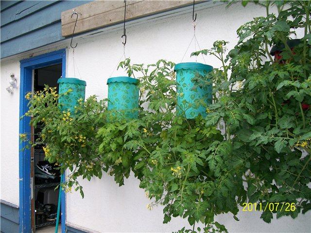 Технология выращивания помидоров (томатов) вниз головой F98cee444d22