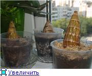 Выращивание орхидей из задних бульб 49536fa95676t