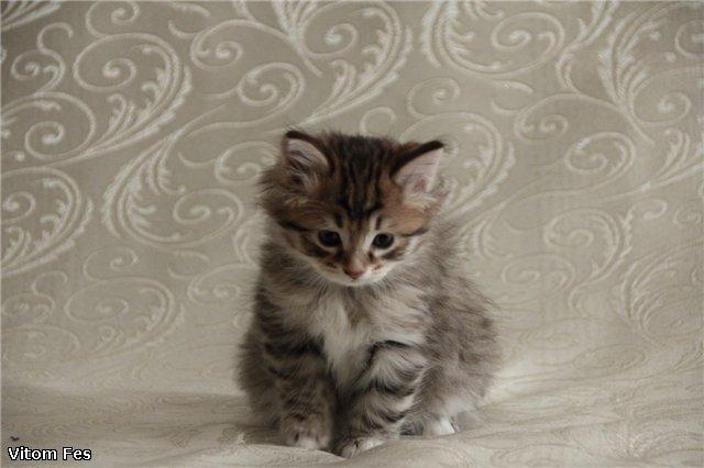 Котята Курильского бобтейла 2e23bc41978a