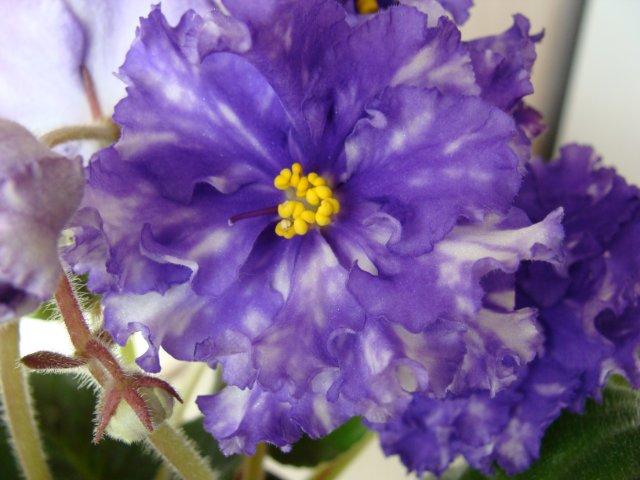 Мои цветочки - Страница 13 155b8d334d10