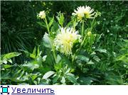 Георгины в цвету 079d56e2d25bt