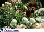 Георгины в цвету D884cbb79ef7t
