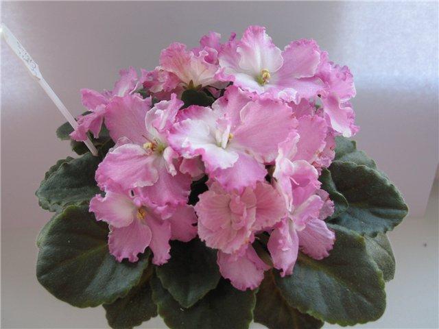 Мои цветики-семицветики 2ee49a3704a1