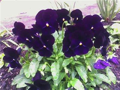 Виола, анютины глазки, фиалки садовые 870c968d8a1d