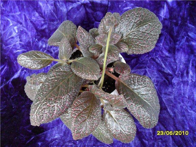 Краткие рекомендации по выращиванию и уходу за эписциями - Страница 2 1462927d1e69