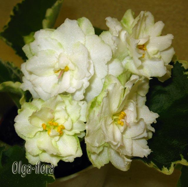 Cool Mint   (Sorano) 3521167f82c5